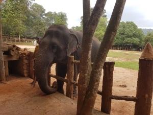 984-pinnewale-orfanato-de-elefantes