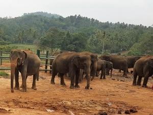 988-pinnewale-orfanato-de-elefantes