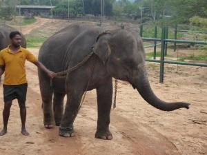 998-pinnewale-orfanato-de-elefantes