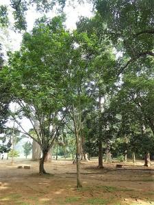 1051-peradeniya-jardin-botanico-real