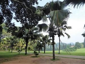 1056-peradeniya-jardin-botanico-real