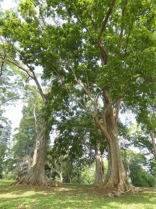1065-peradeniya-jardin-botanico-real