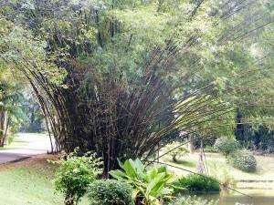1068-peradeniya-jardin-botanico-real