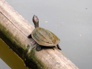 1070-peradeniya-jardin-botanico-real-tortuga