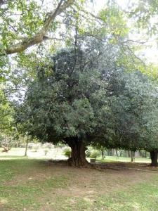 1090-peradeniya-jardin-botanico-real-arbol-plantado-por-nicolas-el-ultimo-zar-de-rusia