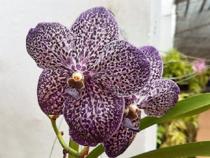 1117-peradeniya-jardin-botanico-real