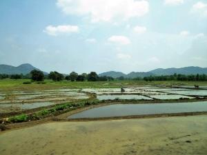 1243-de-ella-a-yala-arrozales