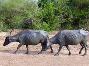 1271-parque-nacional-de-yala-bufalos