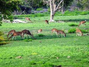 1288-parque-nacional-de-yala-ciervos