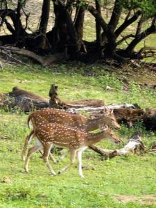 1290-parque-nacional-de-yala-ciervos