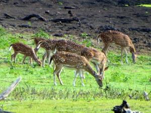 1291-parque-nacional-de-yala-ciervos