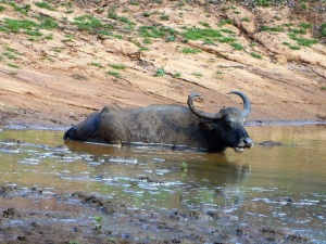 1293-parque-nacional-de-yala-bufalo