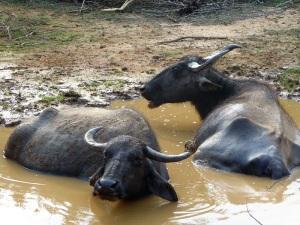 1296-parque-nacional-de-yala-bufalos