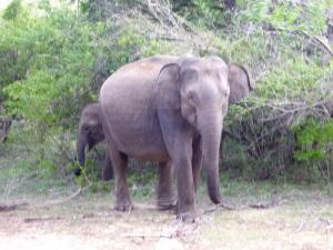 1320-parque-nacional-de-yala-elefantes