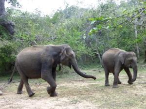 1322-parque-nacional-de-yala-elefantes