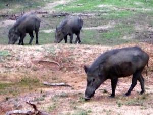1352-parque-nacional-de-yala-jabalis