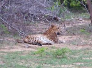 1356-parque-nacional-de-yala-leopardo