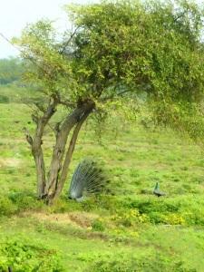 1393-parque-nacional-de-yala-charca-junto-al-lodge-pavos-reales