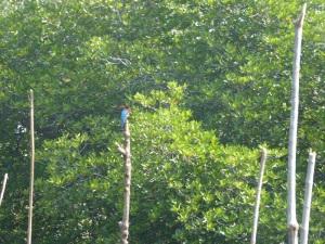 1596-paseo-por-rio-y-laguna-madu-martin-pescador