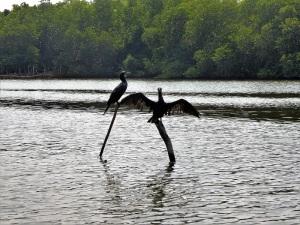 1655-paseo-por-rio-y-laguna-madu-cormoranes
