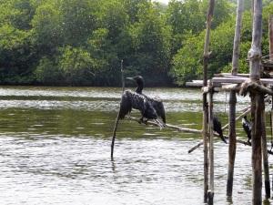 1657-paseo-por-rio-y-laguna-madu-cormoranes
