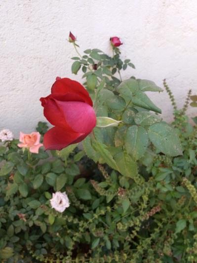 529. Valle de las Rosas