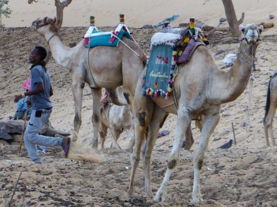 602. Camellos